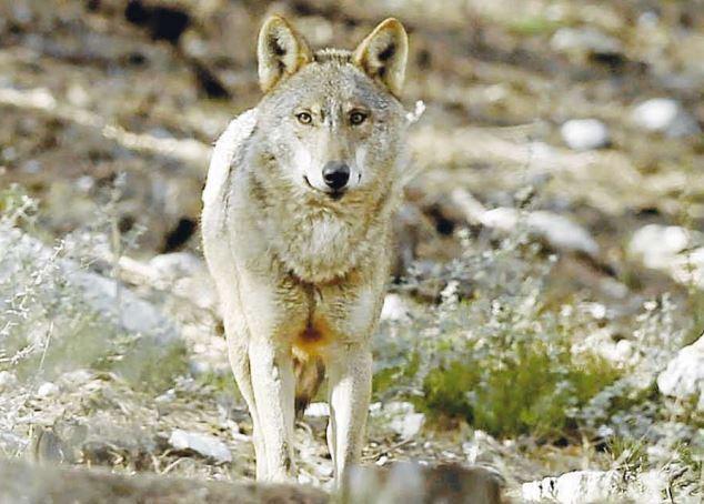 Una Escapada Magica A La Sierra De La Culebra En Tiempo De Lobos