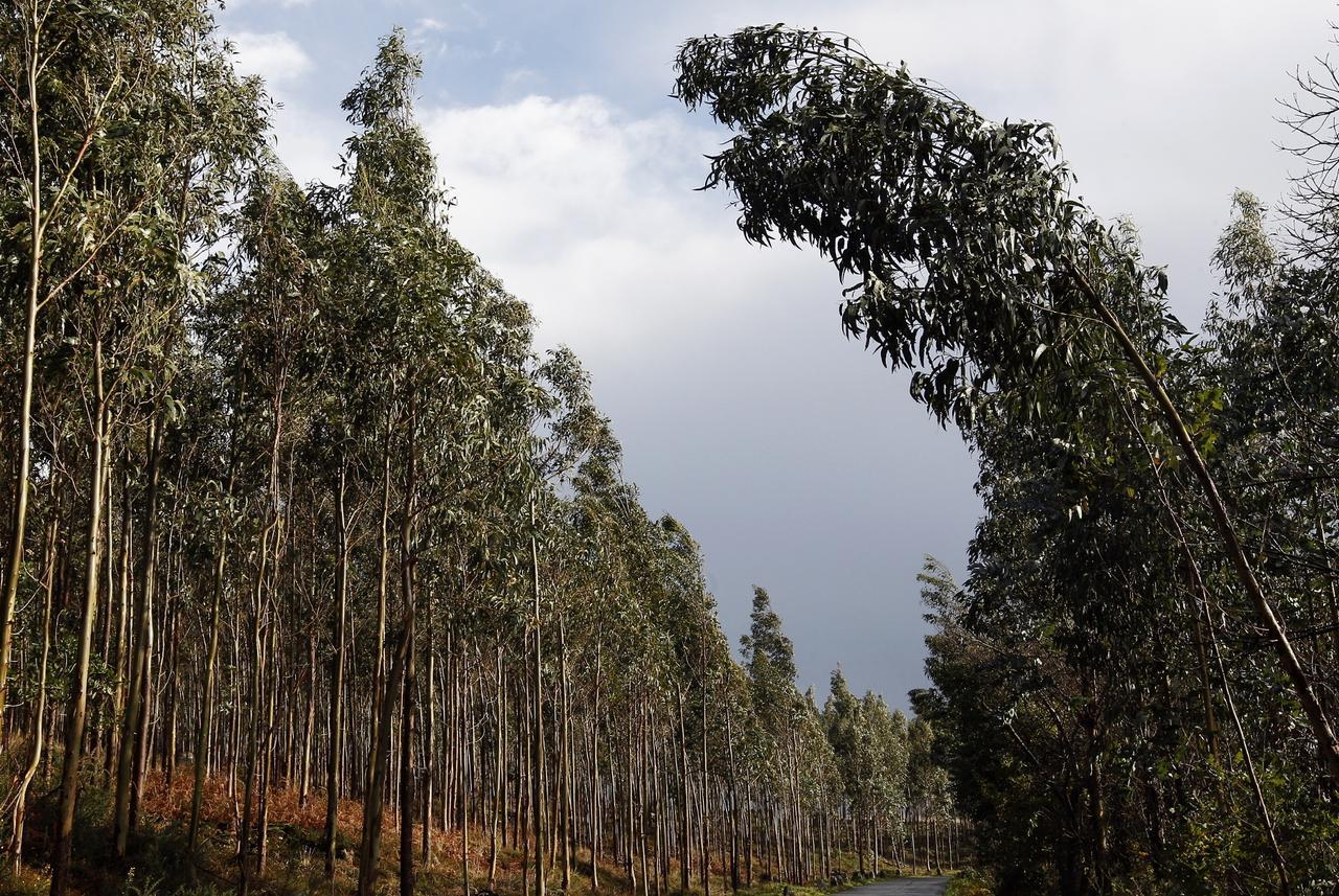 Ngeles v zquez sobre el cultivo de eucalipto se trata - Informacion sobre el eucalipto ...