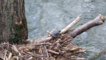 Tortuga vista en unos troncos del Eo. PONTENOVA.ES