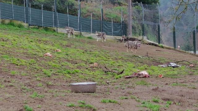 El ejemplar de lobo ibérico con los tres cachorros híbridos. GUARDIA CIVIL OURENSE
