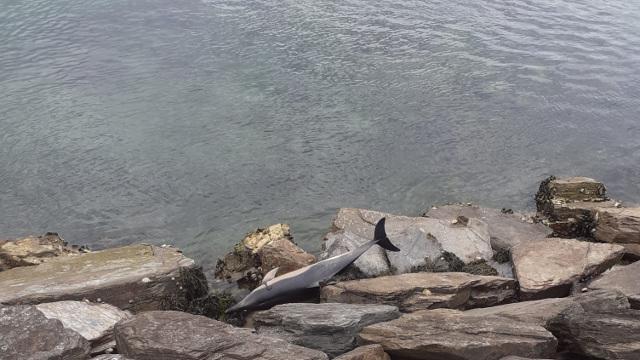 Delfin varado en Angueira. AMA